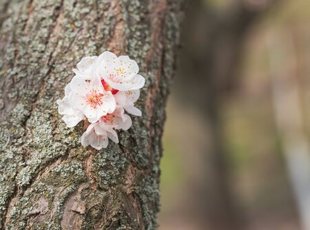 Beautiful white branch of blossoming apricots in spring on a background of a tree trunk.