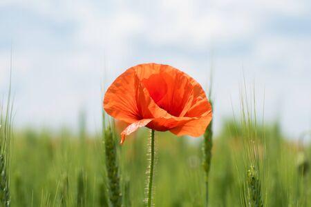 Lonely poppy flower on a wheat field. Beautiful summer landscape.