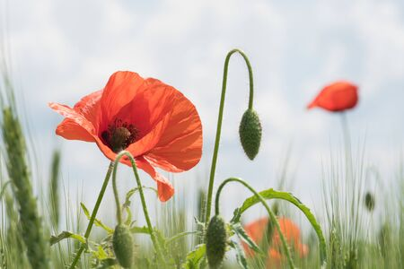 A field of wild red poppies on a bright sunny day. Blooming opium flowers. Colorful summer landscape. 스톡 콘텐츠