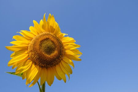 Bright yellow sunflowers on on blue sky background 스톡 콘텐츠