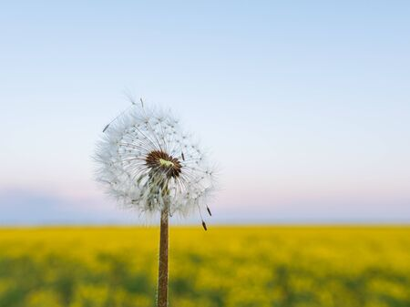 Fluffy Dandelion with Canola flowers blooming field.