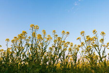 Blooming rapeseed field against the blue sky.