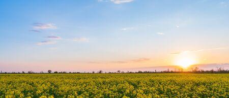 Feld der gelben Vergewaltigung und ein schöner Sonnenunterganghintergrund.