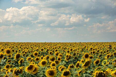 Bright yellow sunflowers on on blue sky background Zdjęcie Seryjne