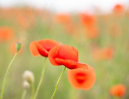 Scarlet poppy blossoms on a poppy field on a sunny summer day.