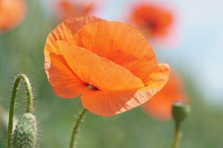 Red poppies in the morning light. A lonely poppy flower. Zdjęcie Seryjne