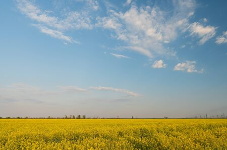 Blooming rapeseed field against the blue cloudy sky.