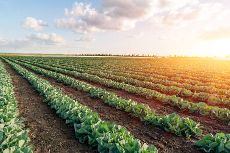 Young cabbage grows in the farmer field. Growing cabbage field in diffused light on the sunset. Banco de Imagens