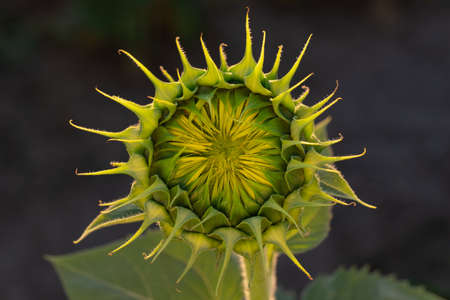 Close-up sunflower that has not bloomed against the background of the earth.