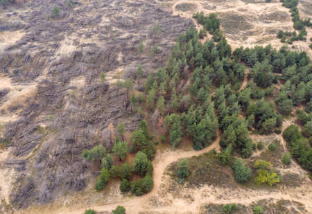A burnt-out coniferous forest with fallen trees. Consequences of a natural disaster. View from above.