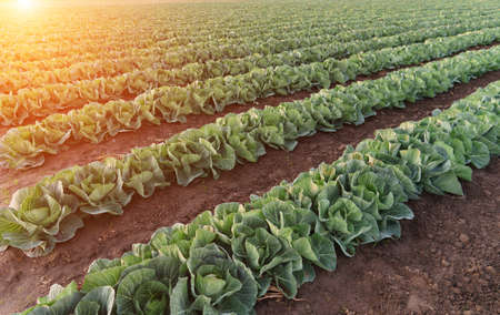 Young cabbage grows in the farmer field. Growing cabbage field in diffused light on the sunset. 免版税图像