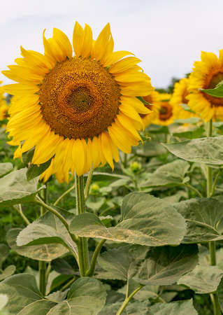 Bright yellow sunflowers in the field against the sky. Beautiful sunflower close-up. 免版税图像