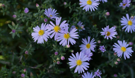 Small lilac flowers of the alpine aster. Delicate flowers in the autumn garden.