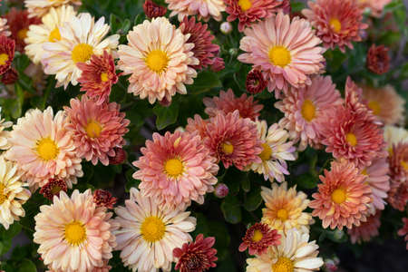 Background of chrysanthemum flowers in different shades of orange. Bouquet of golden-daisys.