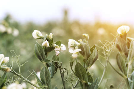 Blooming pea, field of young shoots and white flowers. 免版税图像