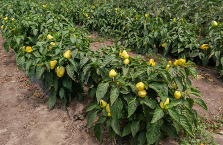 Peppers in a field with irrigation system day time. 免版税图像