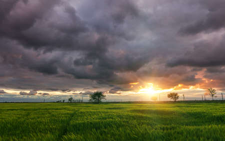 field of green wheat on a background of cumulus clouds during sunset.