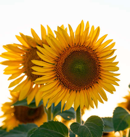 Bright yellow sunflower in the field against the sky. Beautiful sunflower close-up. 免版税图像