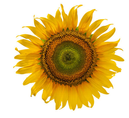 Bright sunflower on a white background. Seeds and petals close up. 免版税图像