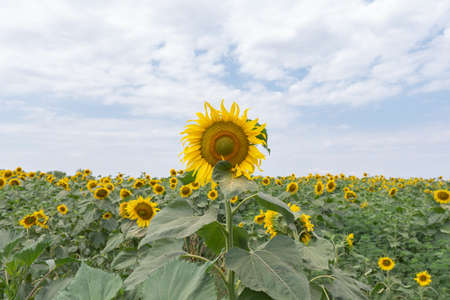 Bright yellow sunflowers against a blue sky with clouds. Field of sunflowers on a summer day. 免版税图像