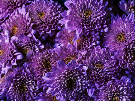 Background of purple chrysanthemum flowers, top view. Floral wallpapers.