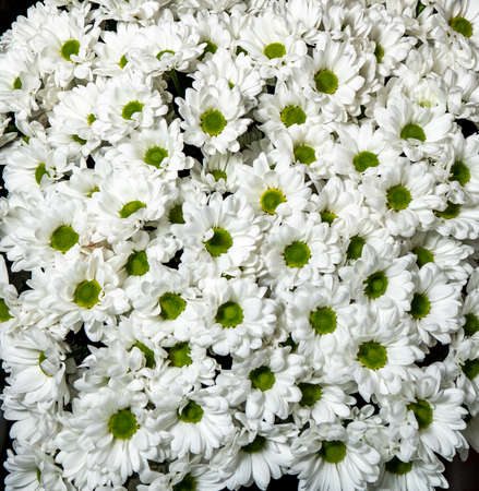 White chrysanthemums background, top view. Floral wallpapers. 免版税图像