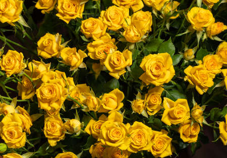 Yellow roses background. A bouquet of beautiful and selective roses. Rose as a symbol of love and beauty 免版税图像
