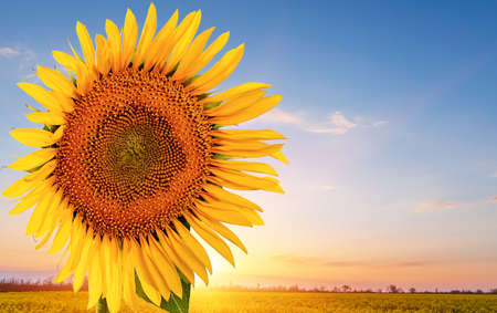 yellow sunflower in the rays of the sun on the background of a colza field, space for text.