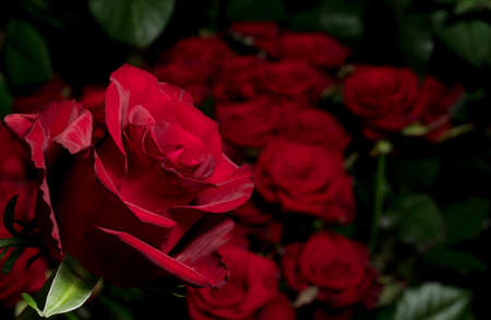 Red rose on a background of blurred bouquets of roses. Luxury roses for a gift. Greeting card.