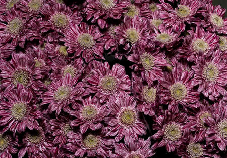 Background of pink chrysanthemum flowers, top view. Floral wallpapers.