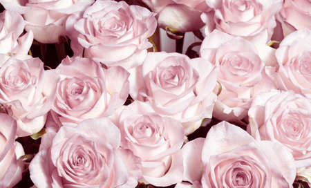 Light pink background. A bouquet of beautiful and selective roses. Rose as a symbol of love and beauty.