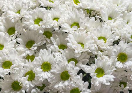 White chrysanthemums background, top view. Floral wallpapers. Zdjęcie Seryjne