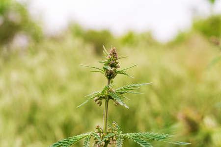 A branch of hemp bush close-up. Shrub young hemp on a bright summer day. Plant addictive.