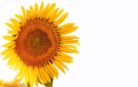yellow sunflower in the rays of the sun on a light background, space for text. Zdjęcie Seryjne