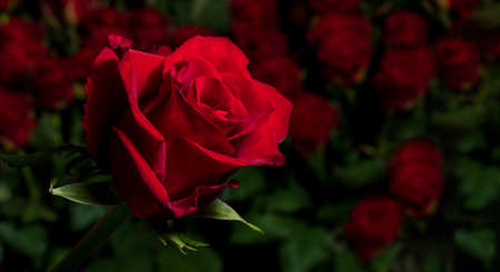Red rose on a background of blurred bouquets of roses. Luxury roses for a gift. Greeting card with place for text.