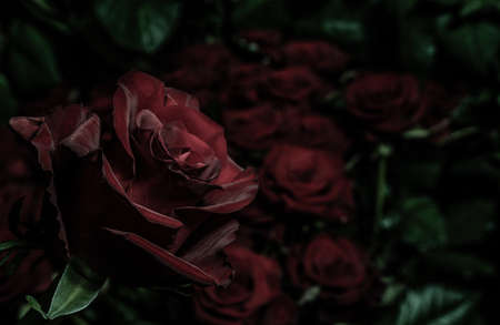 Blooming burgundy rose against the background of blurred bouquets of roses. A perfect and lovely rose for a gift. Postcard for the holiday. Zdjęcie Seryjne