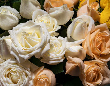 background of a variety of roses in delicate peach shades. Zdjęcie Seryjne