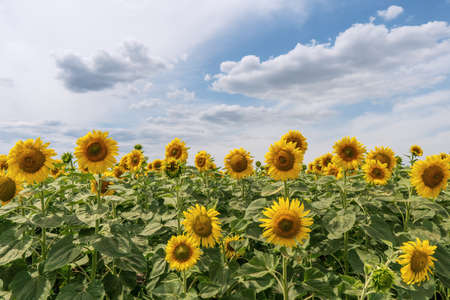 Bright yellow sunflowers against a blue sky with clouds. Field of sunflowers on a summer day. Zdjęcie Seryjne
