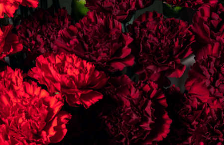 Red blooming carnations. Wallpaper or background of beautiful flowers.
