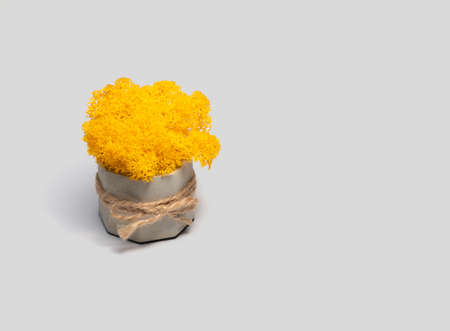 Decorative moss of yellow color in a stone pot on a light background. Stabilized potted moss.