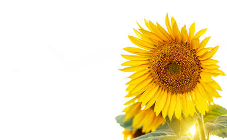 Bright blooming sunflowers against a light sky with a place for text. Summer landscape.