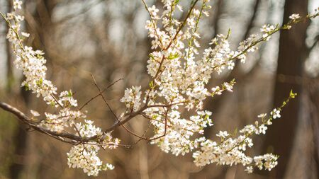 Beautiful flowering cherry trees in spring day. Imagens