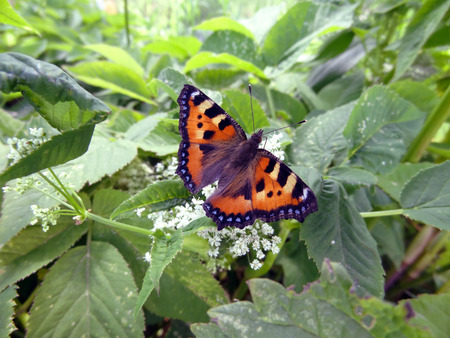 admiral: Butterfly Vanessa atalanta ( The Red Admiral) Stock Photo