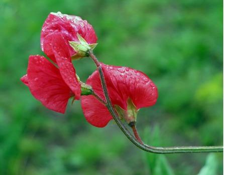 sweet pea flower: Sweet Pea (Lathyrus odomtus) Stock Photo