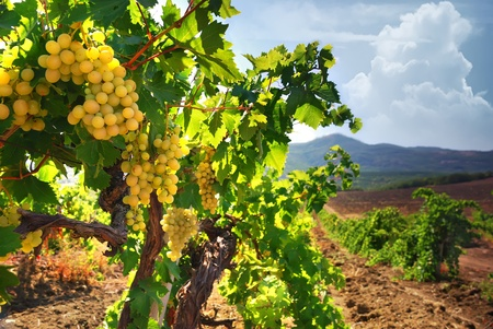 Vineyard on a background of mountains photo