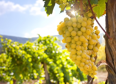 Vineyard on a background of mountains Stock Photo - 12859623