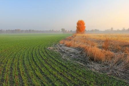 winter wheat: Autumn morning in a wheat field Stock Photo