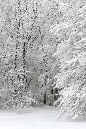 frost covered: Winter forest