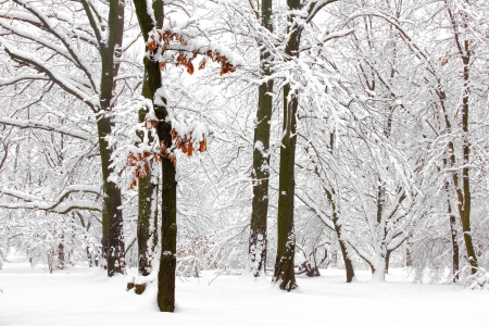 snow covered mountain: Winter forest
