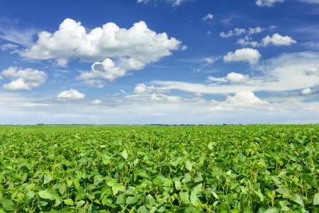 bush bean: Soybean field Stock Photo